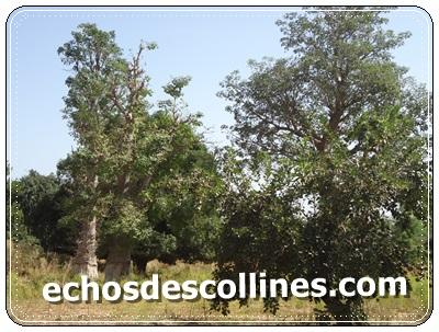 Kédougou : Thiarmalel un tigre tente de décimer les troupeaux du  village