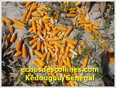 Kédougou : Le manque de tracteurs est un casse-tête pour les producteurs de maïs