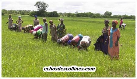 Kédougou: Une lionne investit dans les rizières depuis 20 ans