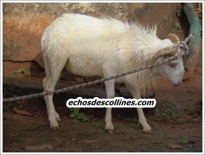 Tabaski 2015, le maire de Kédougou offre des moutons à plus d'une centaine de familles