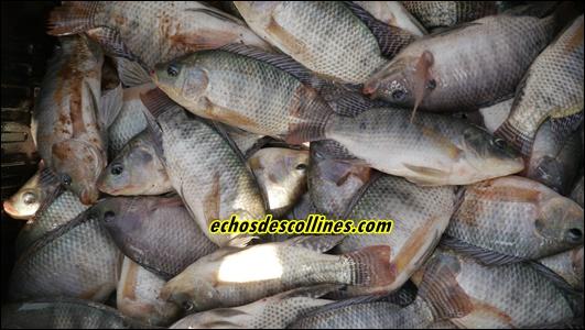 Kédougou: Le REFDEV fait la pré-récolte de poissons