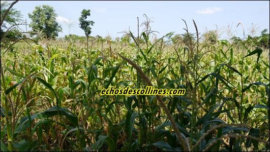 Kédougou : focus sur les actions du PRODAC  durant la campagne agricole …