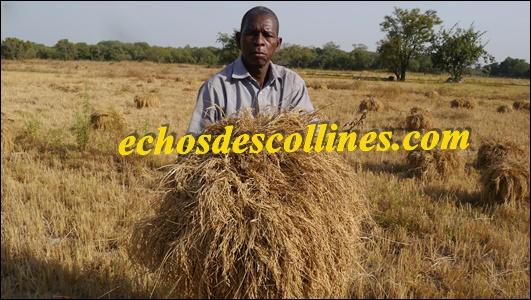 Colère sur les terres rizicoles de Bandafassi, M Boubacar Bâ, un producteur meurtri par la divagation du bétail, plaide pour plus de soutien à Bamtaaré SA