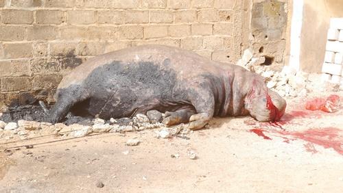Kédougou: Un hippopotame abattu au quartier Dinguessou, un malheur s'annonce